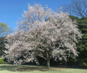 新宿御苑の桜。